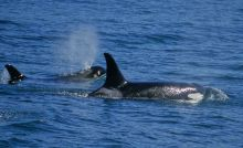 Orca watching in Johnstone Strait