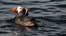 Tufted Puffin - photo by Bruce Whittington