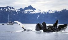 Bubble-net Feeding Humpbacks