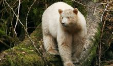 The Spirit Bear in The Great Bear Rainforest