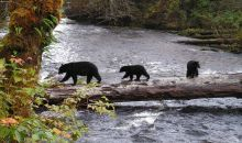 Northern Vancouver Island - The Black Bear