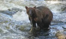 Grizzlies in Southeast Alaska