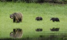 Watch video of bear and cubs - Khutzeymateen 2011
