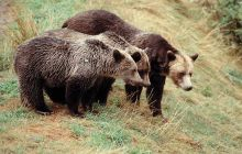 Grizzly Bears, British Columbia Coast