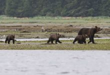 Grizzly Mum and 3 Cubs at Glendale Cove BC