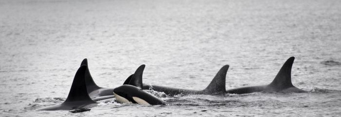 Northern Resident Orca British Columbia