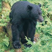 Black Bears in the Queen Charlotte Islands